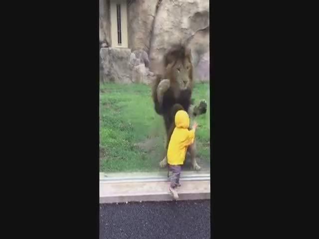 Лев попытался наброситься на ребенка