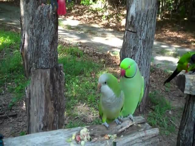 Попугай зацеловал свою подружку
