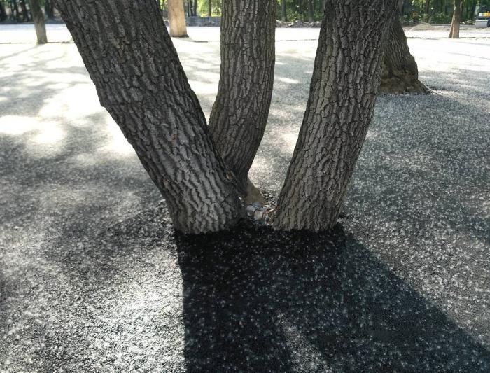 В Тюмени деревья закатали в асфальт (5 фото)
