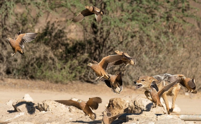 Шакалы устроили засаду, охотясь на рябчиков (10 фото)