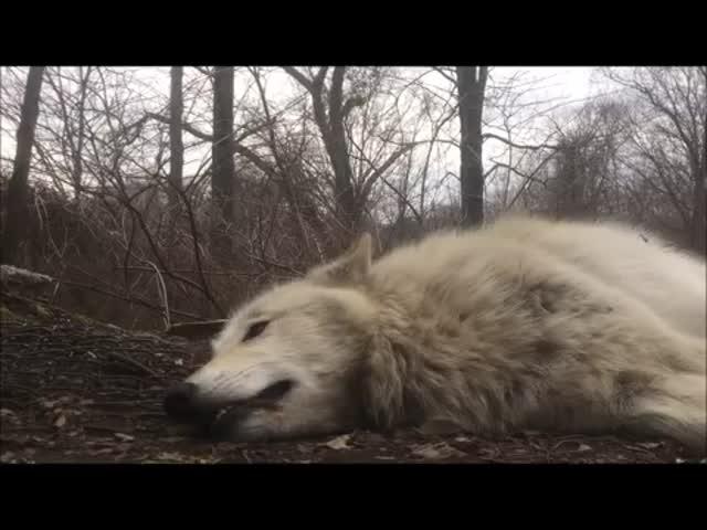 Ленивый волк воет
