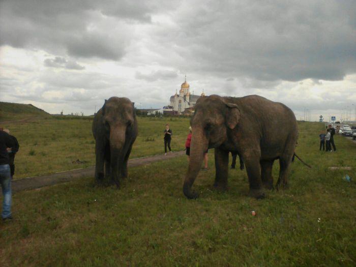 В Магнитогорске выгуливали слонов (7 ...: trinixy.ru/131828-v-magnitogorske-vygulivali-slonov-7-foto-video.html