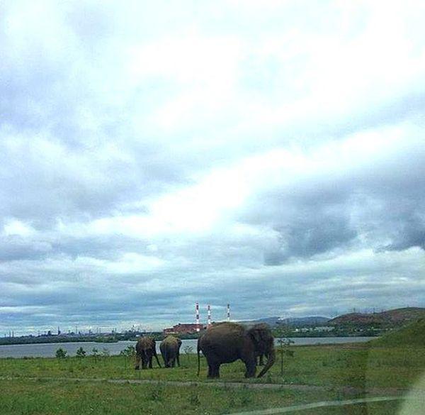 В Магнитогорске выгуливали слонов (7 фото + видео)
