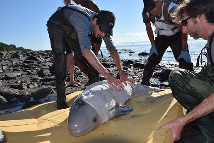 В Канаде дети спасли выброшенного на берег детеныша кита-белухи (4 фото)