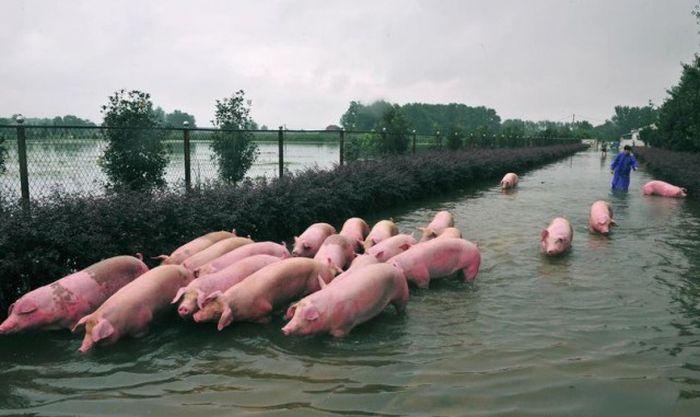 В Китае устроили массовую эвакуацию свиней (6 фото)