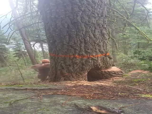 Лесоруб чудом спасся от расколовшейся ели