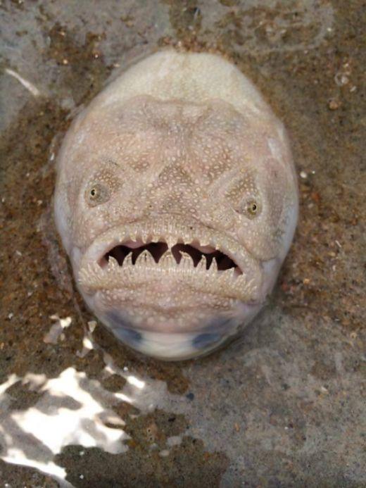 Крапчатый звездочет - одна из самых жутких рыб на земле (3 фото)