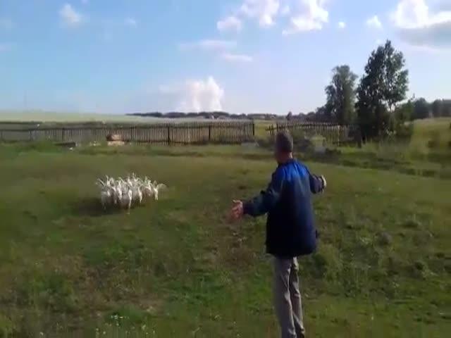 Хозяин подзывает к себе гусей