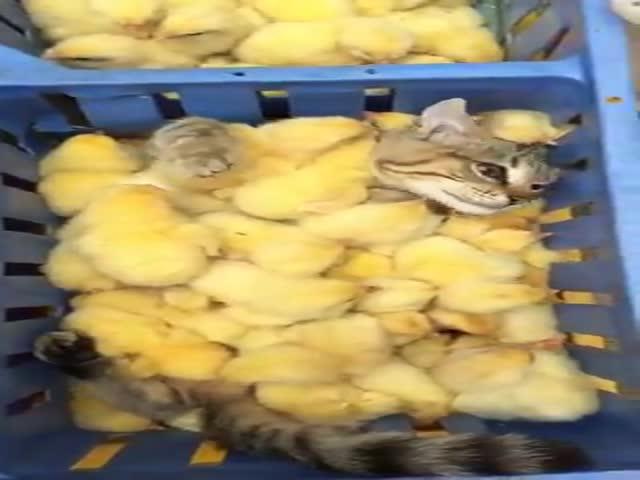Кот зарылся в корзину с цыплятами