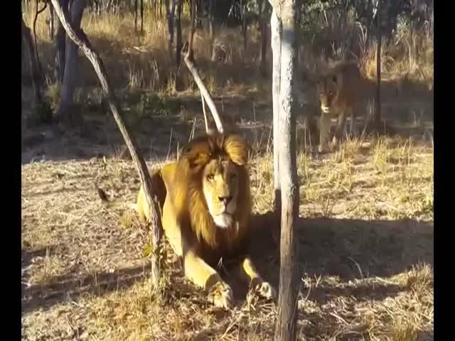 Львица не на шутку испугала льва