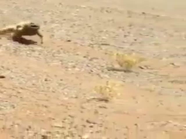 Пустынная ящерица спешит в тень