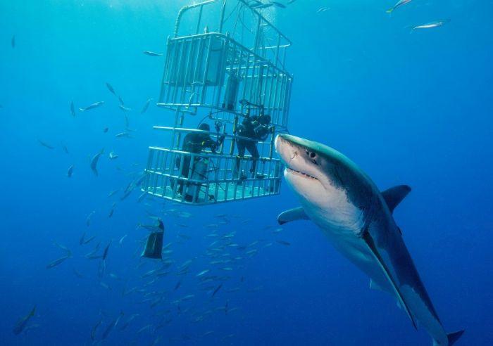 В Карибском море замечена гигантская белая акула (3 фото + видео)