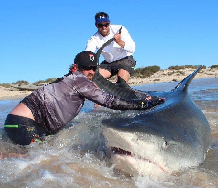 Австралийские рыбаки порыбачили на акул (11 фото)