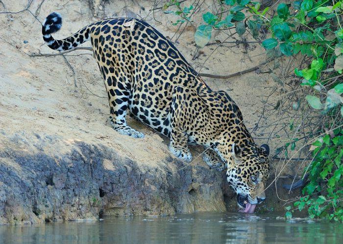 Охотник сам стал добычей (6 фото + видео)