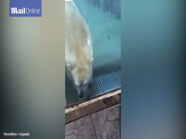 Белый медведь попытался съесть малыша