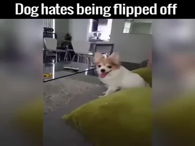 Пес не любит неприличный жест