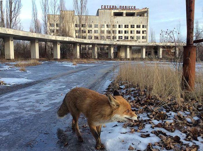 Животные зоны отчуждения Чернобыльской АЭС (17 фото)