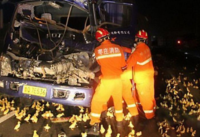 10 000 утят парализовали движение на оживленной китайской трассе (4 фото)