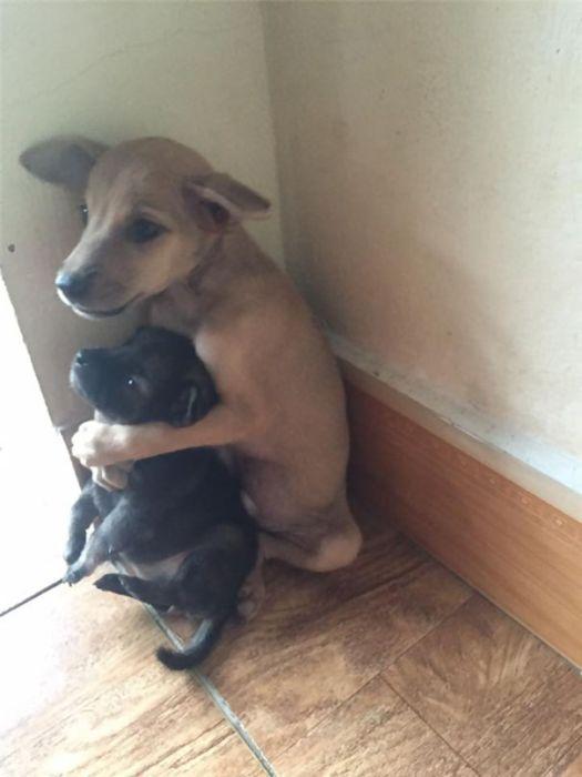 Милейшие щенки заботятся друг о друге (5 фото)