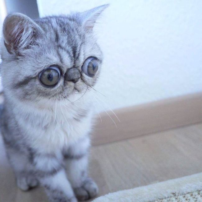 Удивленный кот по кличке Герман (5 фото)