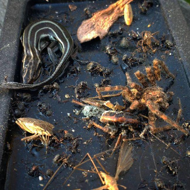 Крупный «улов» липких ловушек для насекомых (15 фото)
