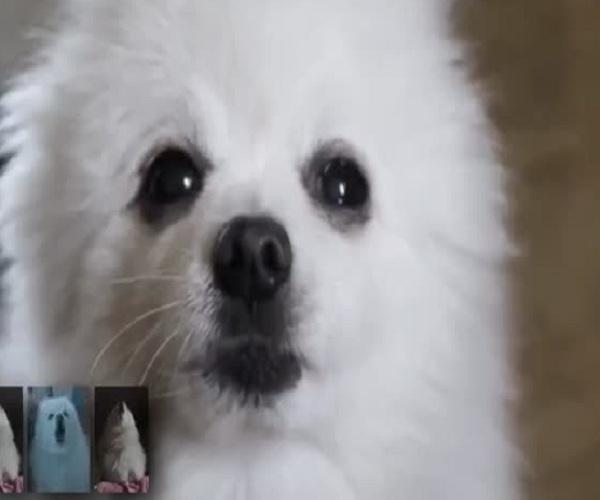 Маленький пес «исполнил» мелодию из фильма «Реквием по мечте»