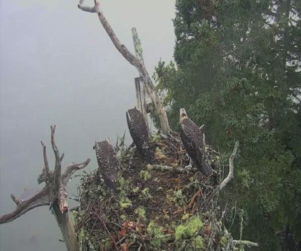 Белоголовый орлан унес детеныша скопы