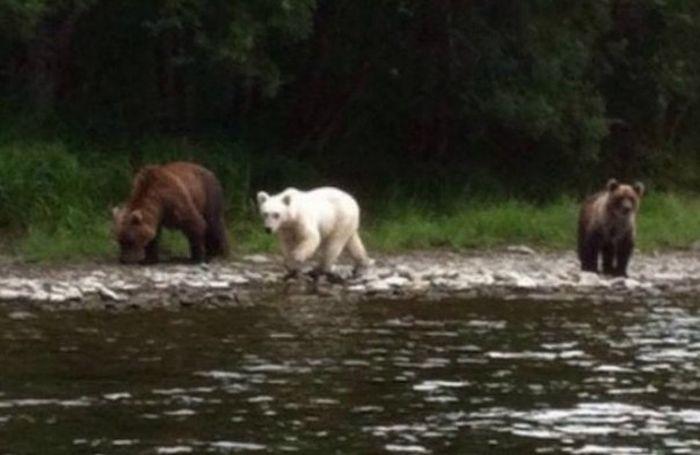 На Камчатке нашли бурого медведя с белой шерстью (2 фото)
