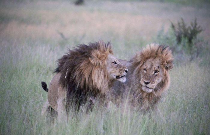 Львы-гомосексуалисты в Ботсване (6 фото)