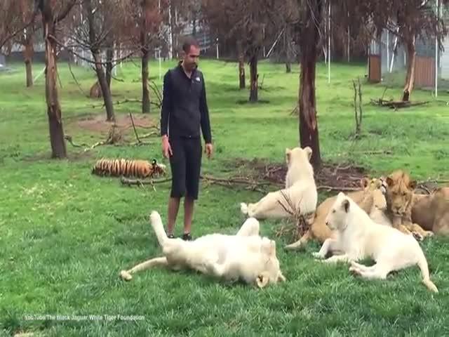 Тигр спас работника зоопарка от ягуара