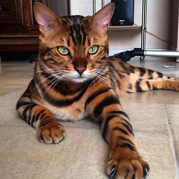 Коте прелестен