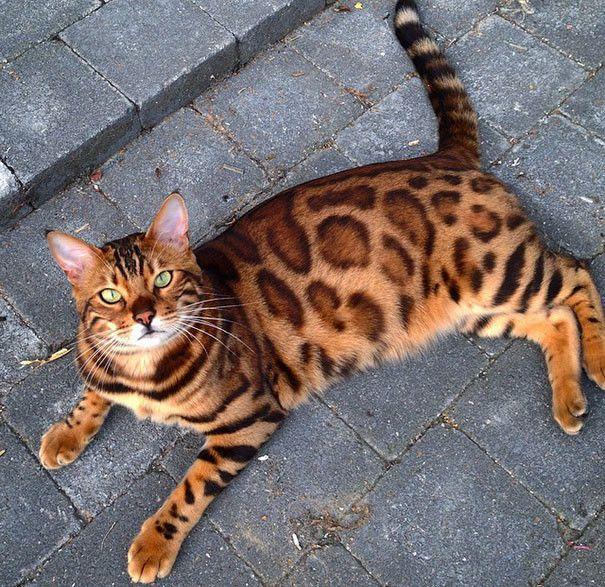 Бенгальский кот красивый