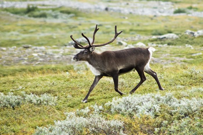 В Норвегии 323 оленя погибли из-за удара одной молнии (5 фото)