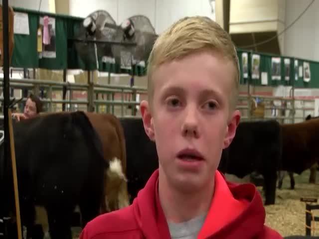 Мальчик застрял между двумя коровами