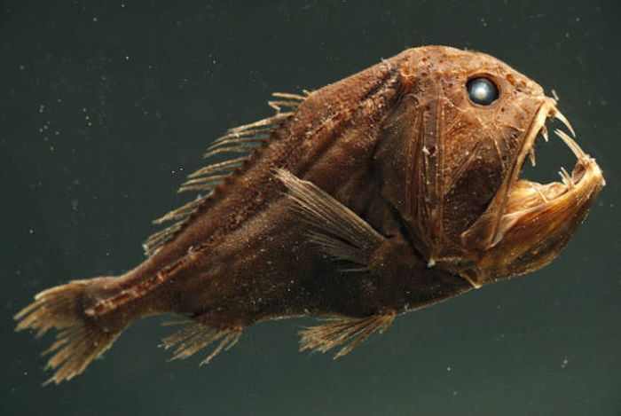Чудовищные обитатели глубин океана (25 фото)