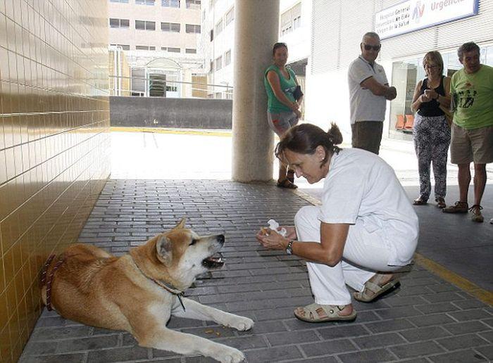 Собака 6 дней ждала хозяйку у дверей больницы (3 фото)