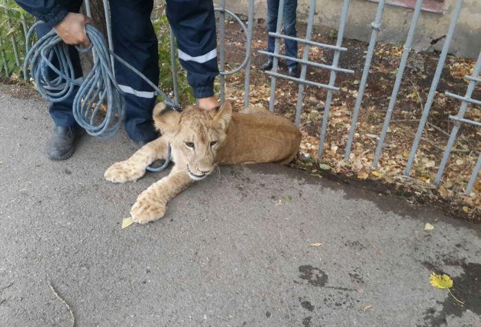 В центре Уфы поймали гуляющего по улице львенка (4 фото)