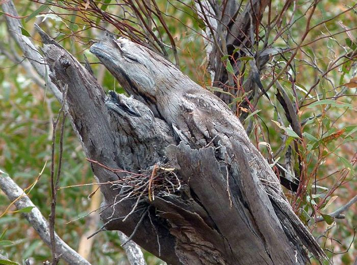Дымчатый лягушкорот - непревзойденный мастер маскировки (2 фото)