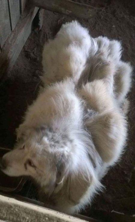 Собака похудела на 16 кг после первой стрижки за 6 лет (8 фото)
