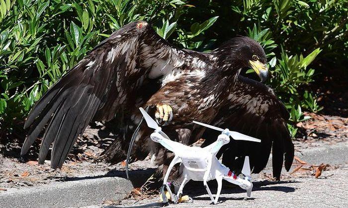 Полиция Нидерланд научила орлов бороться с дронами (3 фото)