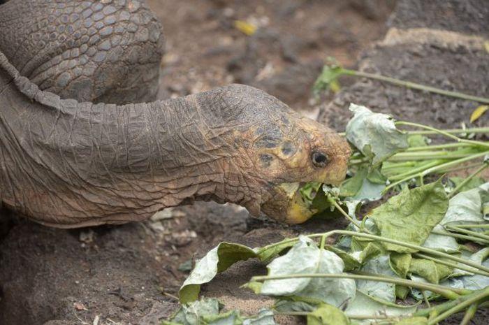 100-летний самец черепахи спас от вымирания свой подвид (4 фото)