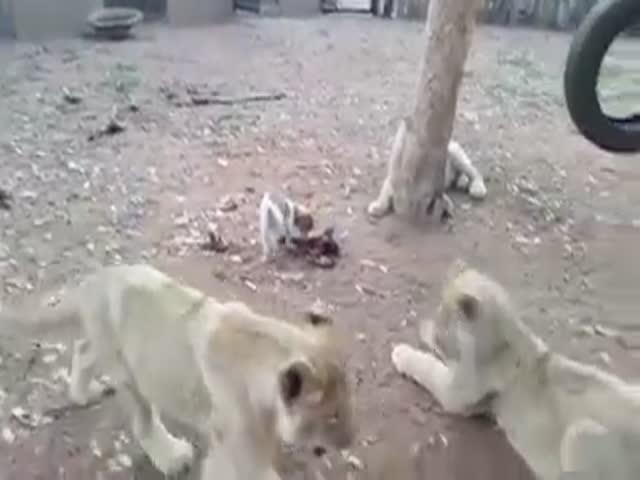 Маленький щенок держит в страхе трех львят