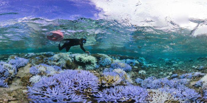 Из-за потепления воды на Окинаве обесцвечиваются и гибнут кораллы (8 фото)