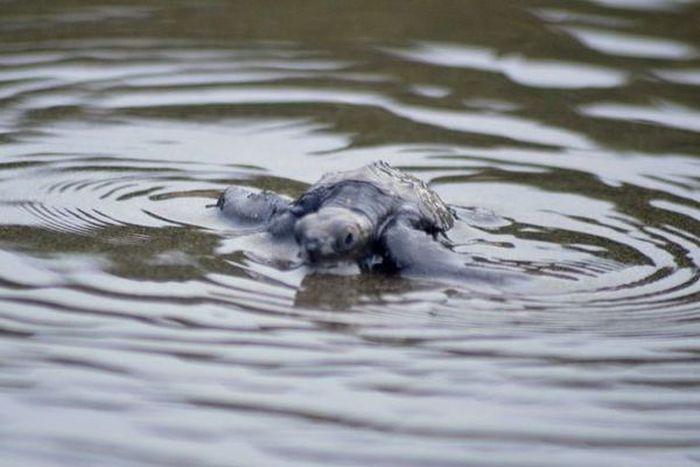 Колумбийские моряки спасают детенышей черепах (7 фото)