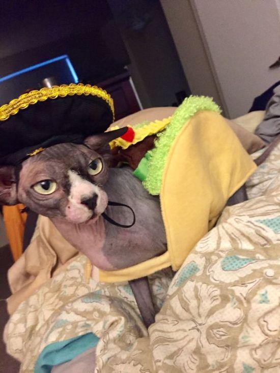 Оригинальные наряды для кошек на Хэллоуин (41 фото)