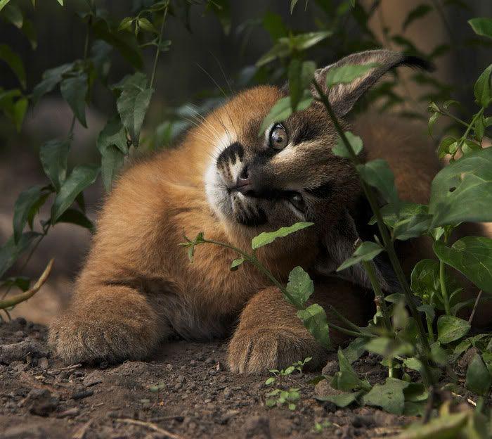 Детеныши каракала - самые очаровательные котята (20 фото)