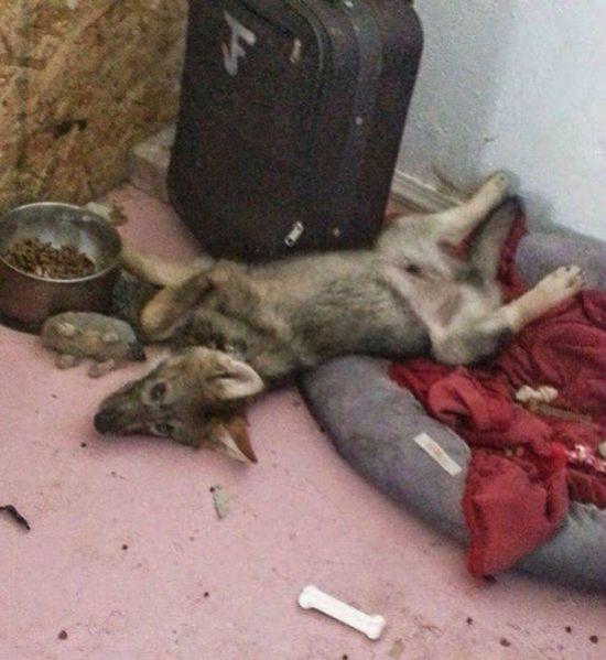 Щенок оказался вовсе не собакой (9 фото)
