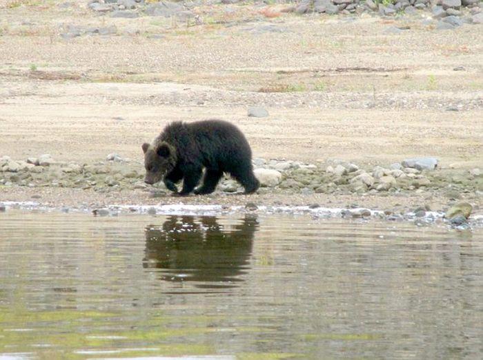 Редкие кадры прощания медведицы с медвежатами (4 фото)
