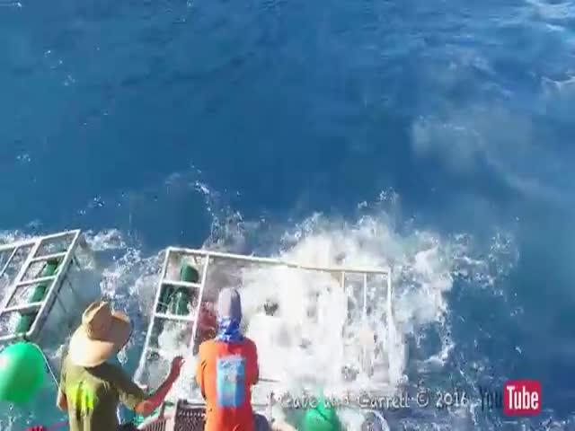 Белая акула проломила клетку с дайвером