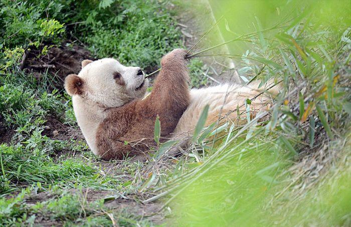 Единственная в мире коричнево-белая панда (10 фото)